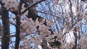 少しアップになった桜
