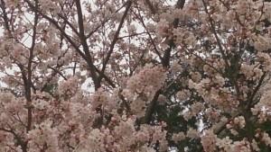 川西市市民運動場テニスコートの桜